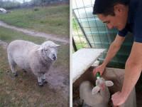 Napok óta kétségbeesetten keresi ellopott bárányát Szilvia.