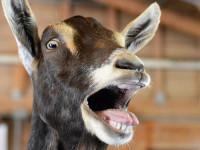 20.000 eurót evett meg egy kecske Szerbiában