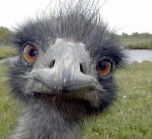ostrich-05
