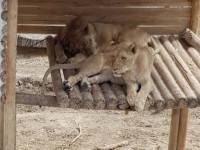 Bajban vannak az érdi oroszlánok