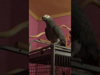 Kevin, a beszélő jákó papagáj