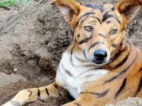 Tigrisnek álcázta kutyáját